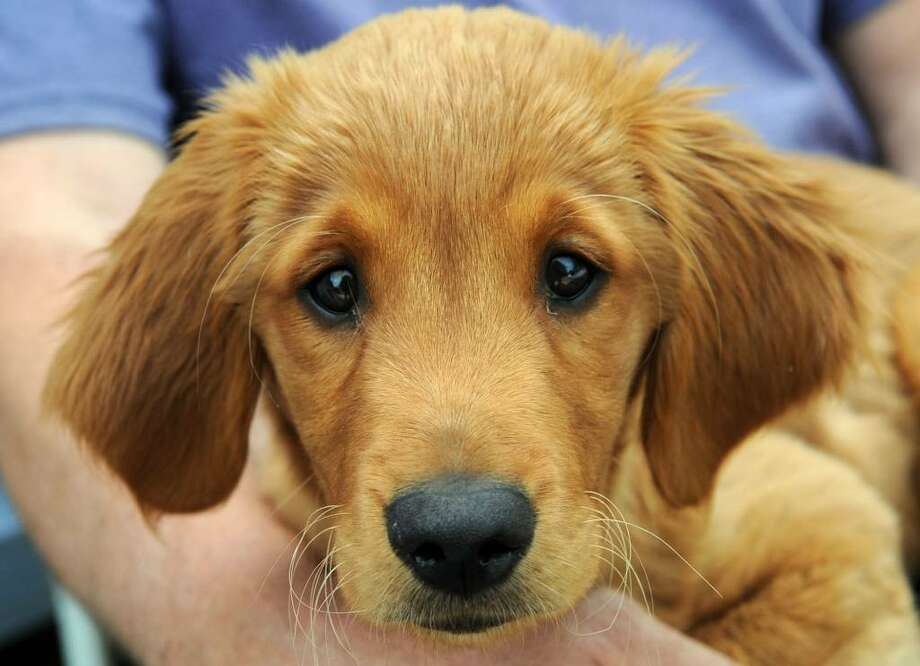Star, a golden retriever puppy, owned by Guy Marchison, of Ridgefield, was injured by an attack by two German shepherds. Photo: Carol Kaliff / The News-Times