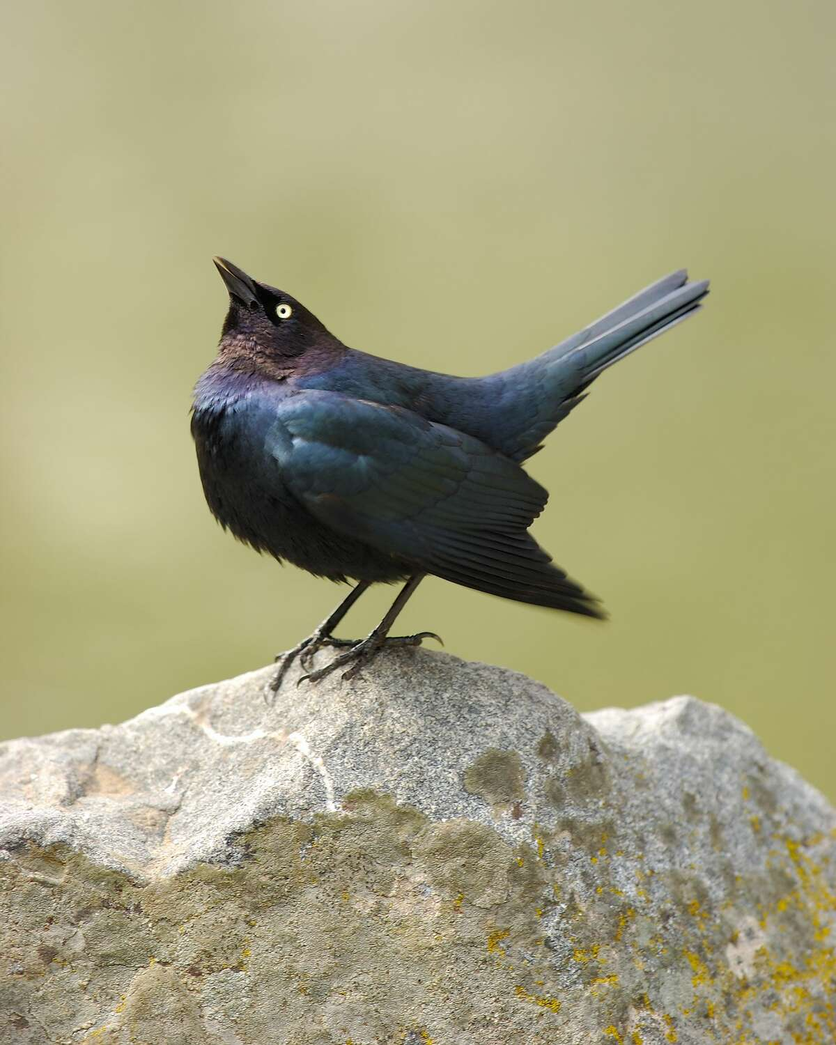 A male Brewer's Blackbird, the same species that has been allegedly attacking people.