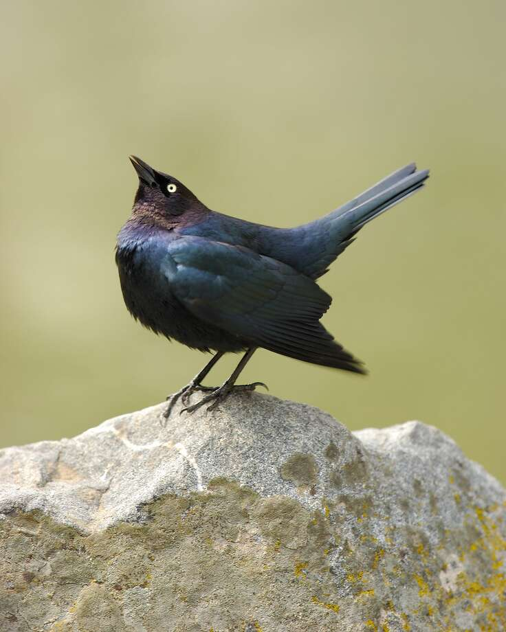 A male Brewer's Blackbird, the same species that has been allegedly attacking people. Photo: VW Pics/UIG Via Getty Images