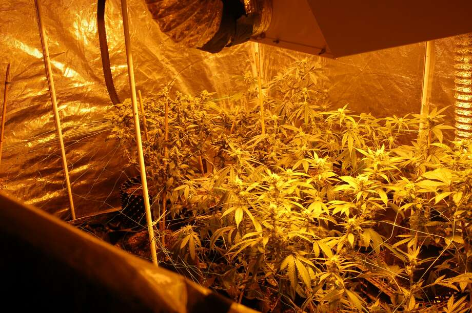 Investigators found marijuana plants in various stages of growth in several rooms, along with four and a half pounds of the dried marijuana, inside the Selkirk home on Tuesday, July 11, 2017, police said. Photo: Bethlehem Police