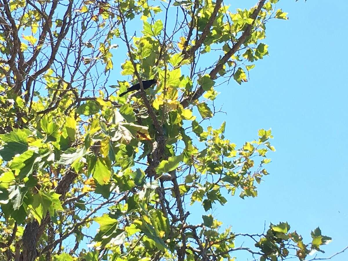A blackbird has been dive-bombing pedestrians near Church and Market in the Castro.