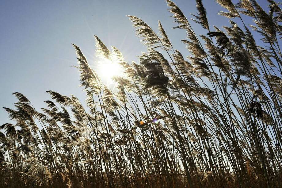 An invasive insect from Asia is devastating stands of environmentally and economically crucial phragmites — commonly called roseau cane — in Louisiana's Mississippi River Delta. Officials are worried it will be intentionally introduced in other areas. Photo: Greenwich (Conn.) Citizen / Greenwich Citizen