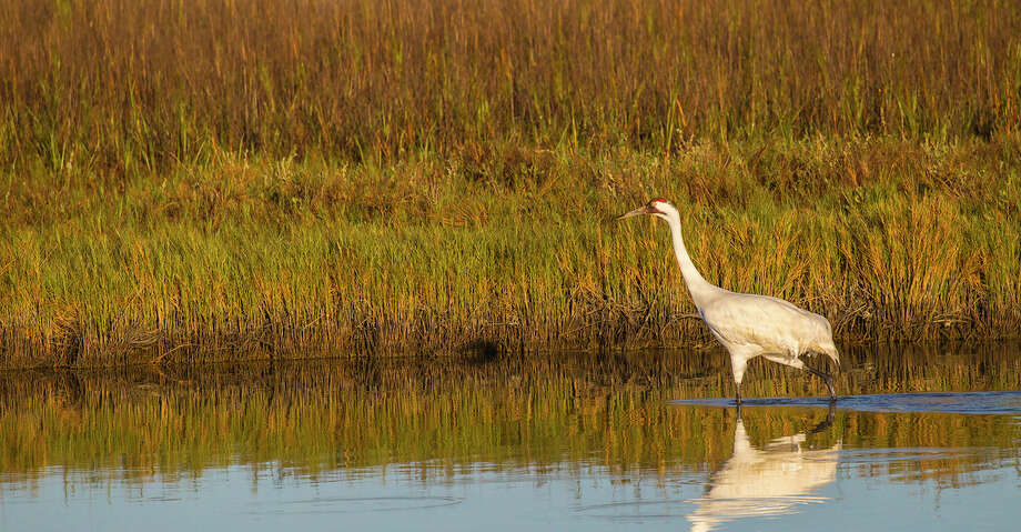 In May, 2016, Trey Joseph Frederick pleaded guilty to violating the federal Migratory Bird Treaty Act tied to his shooting and killing two whooping cranes on Jan. 11 of that year. Photo: Kathy Adams Clark/Kathy Adams Clark/KAC Production
