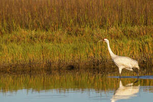 The Port Aransas Whooping Crane Festival is a place to see whooping cranes and other birds that winter on the central Texas coast.  Photo Credit:  Kathy Adams Clark    Restricted use.