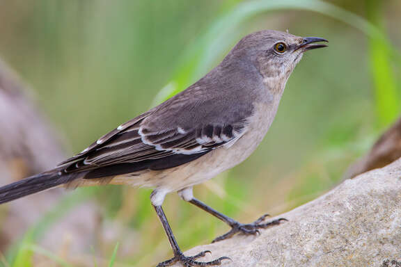 A northern mockingbird opens its beak and flutters its throat to cool down during hot summer days.