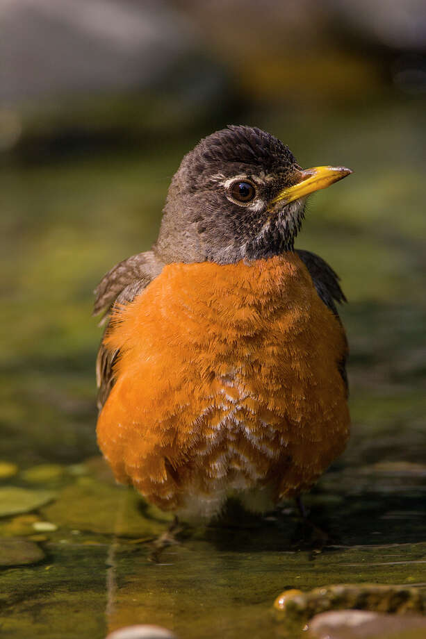 Birds like this American robin stand in water to cooldown during hot summer days.  Photo Credit:  Kathy Adams Clark.  Restricted use. Photo: Kathy_Adams_Clark / Kathy Adams Clark/KAC Productions