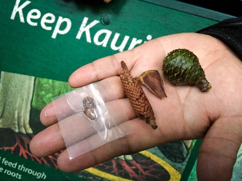 Giant kauri trees start with small cones and seeds. Photo: Jill K. Robinson, Special To The Chronicle