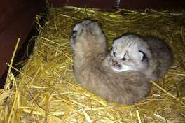 Connecticut's Beardsley Zoo in Bridgeport has two new residents: twin female lynx, born in late April.