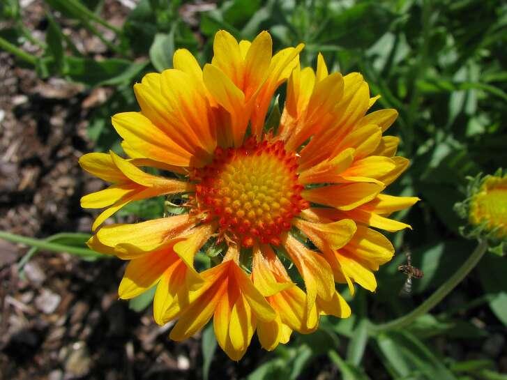 Caillardia x grandiflora, �Oranges and Lemons.�  Photo: Wikicommons