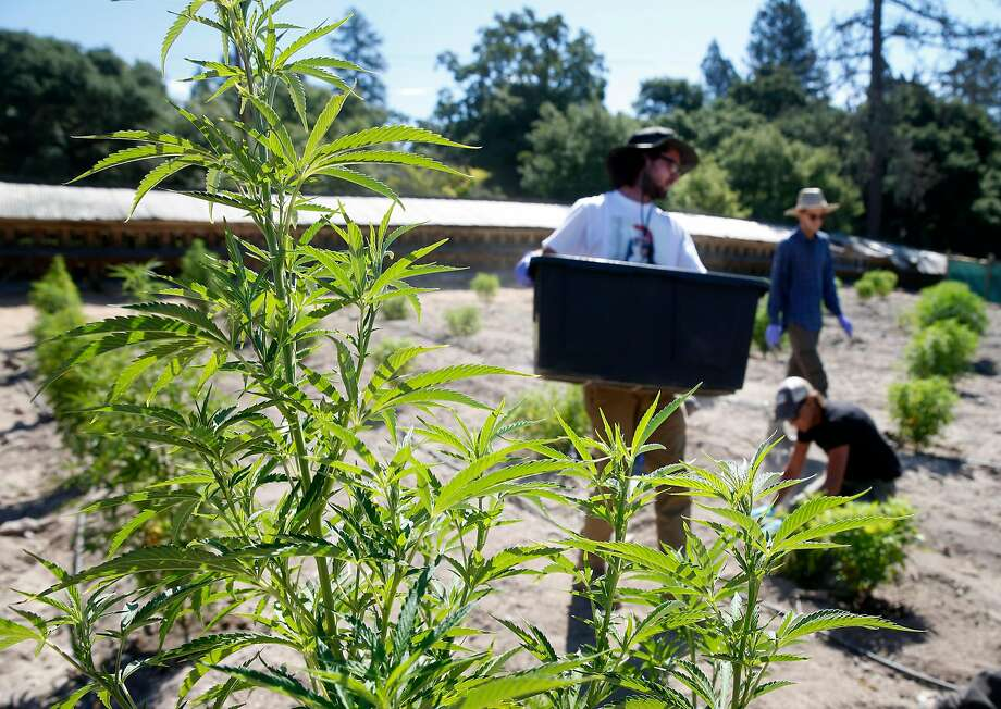 Kenny Phillips holds bat guano to fertilize marijuana plants at the SPARC cannabis farm in Glen Ellen. Photo: Paul Chinn, The Chronicle