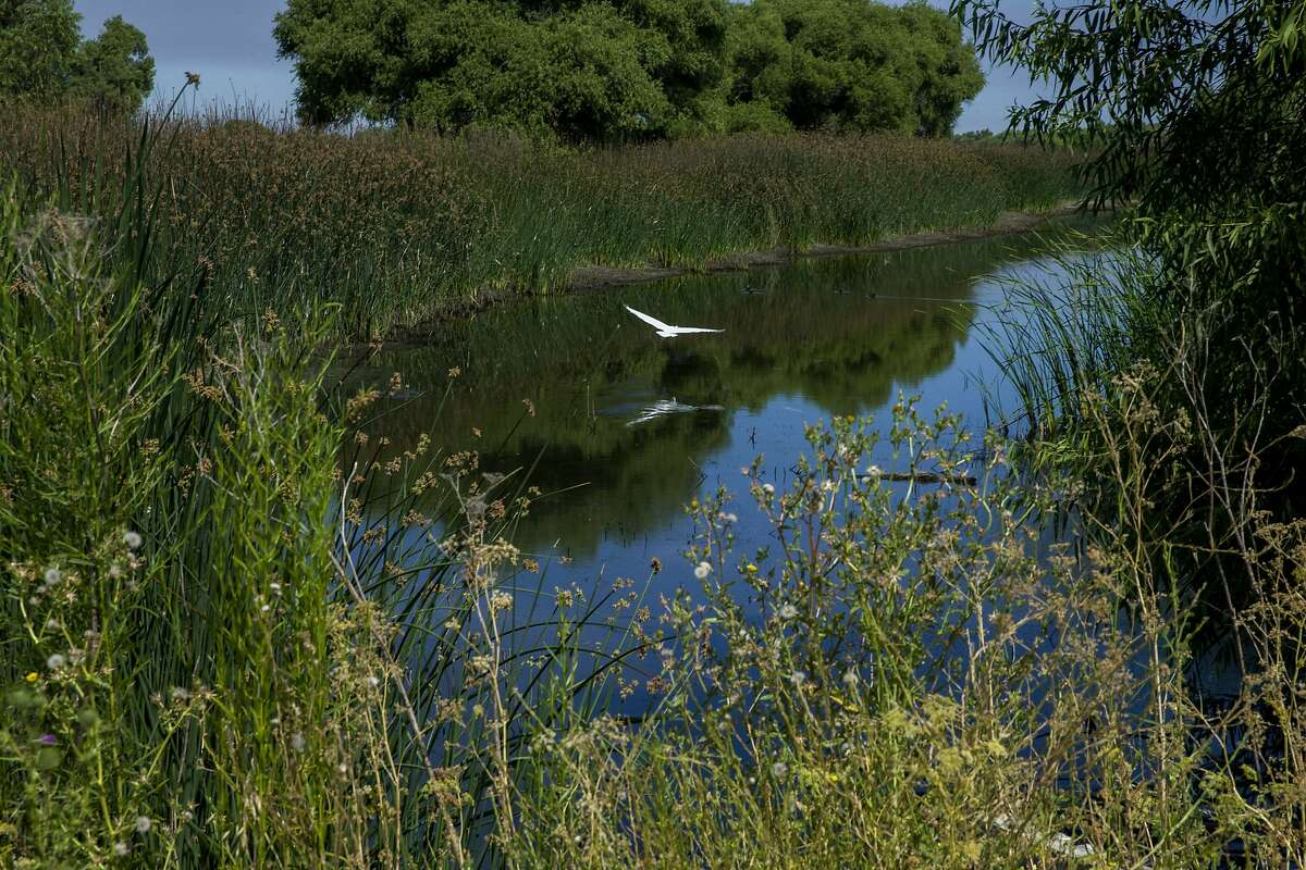 A great egret glides near the Chester Marsh Nature Trail in the San Luis National Wildlife Refuge on Friday, July 14, 2017, in Los Banos, Calif.