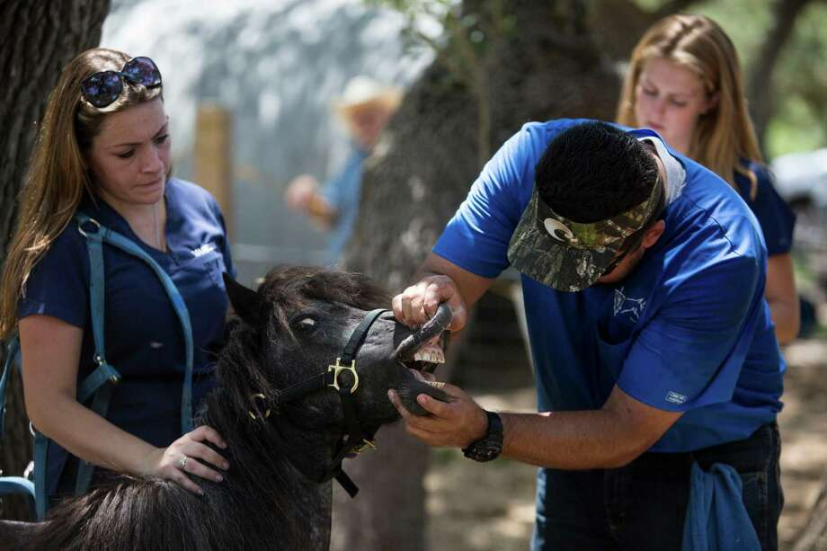 Vanessa Villarreal, left, Sarah Nerz, back right, and Dr. Eduardo Guevara examine one of the forty-six horses that Bexar County deputies removed from a ranch in Converse for neglect that are recuperating at the Meadow Haven Horse Rescue in Smiley, Texas, home to abused, injured and old horses, on July 14, 2017. Photo: Carolyn Van Houten, Staff / San Antonio Express-News / 2017 San Antonio Express-News