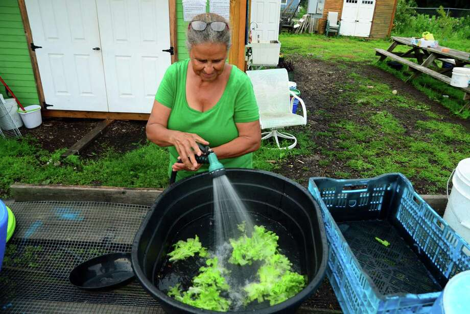 Reservoir Community Farm employee Lucrecia Barraza cleans a batch of lettuce at the farm on Reservoir Avenue in Bridgeport, Conn., on Thursday July 13, 2017. Photo: Christian Abraham / Hearst Connecticut Media / Connecticut Post