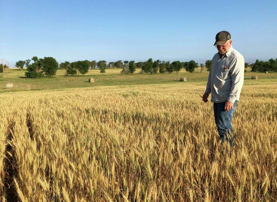 In this July 13, 2017, photo, farmer John Weinand surveys a wheat field near Beulah, N.D., that should be twice as tall as it is. Drought in western North Dakota this summer is laying waste to crops _ some of which won't even be worth harvesting. (AP Photo/Blake Nicholson) Photo: Blake Nicholson, STF / Copyright 2017 The Associated Press. All rights reserved.