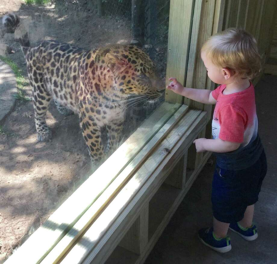 Connecticut's Beardsley Zoo has unveiled a large viewing window and sheltered wooden platform for viewing its Amur leopards, which are the rarest big cats in the world. Photos courtesy of Connecticut's Beardsley Zoo. Photo: Contributed