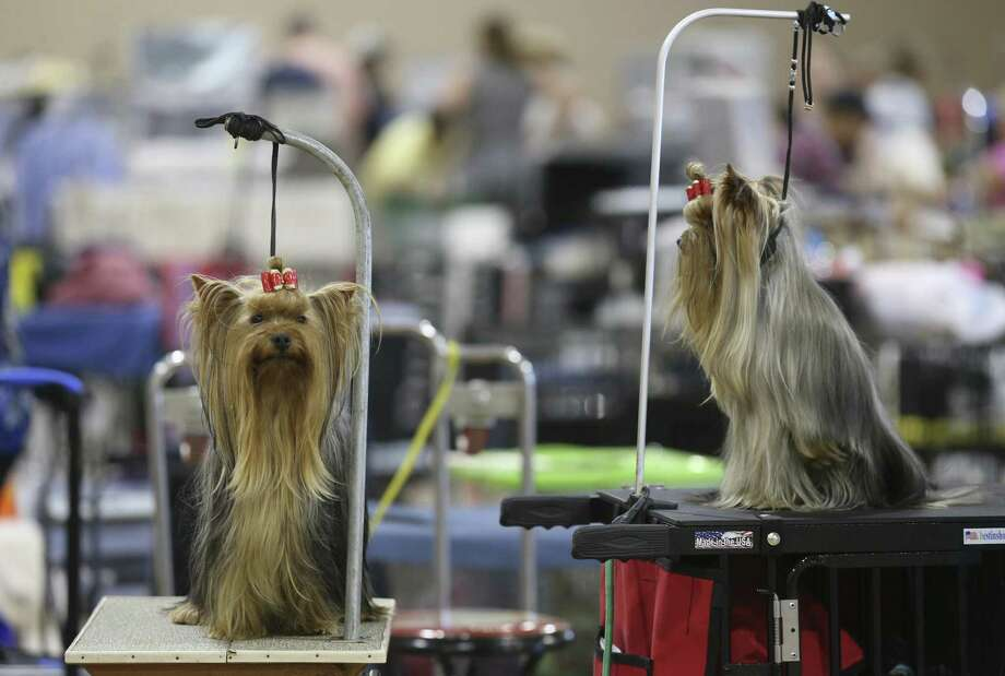 """Yorkshire terriers, """"Sunny,"""" left, and """"Indie,"""" sit on grooming tables during the final day of The River City Cluster of Dog Shows at the Freeman Coliseum, Sunday, July 16, 2017. Photo: JERRY LARA / San Antonio Express-News / San Antonio Express-News"""