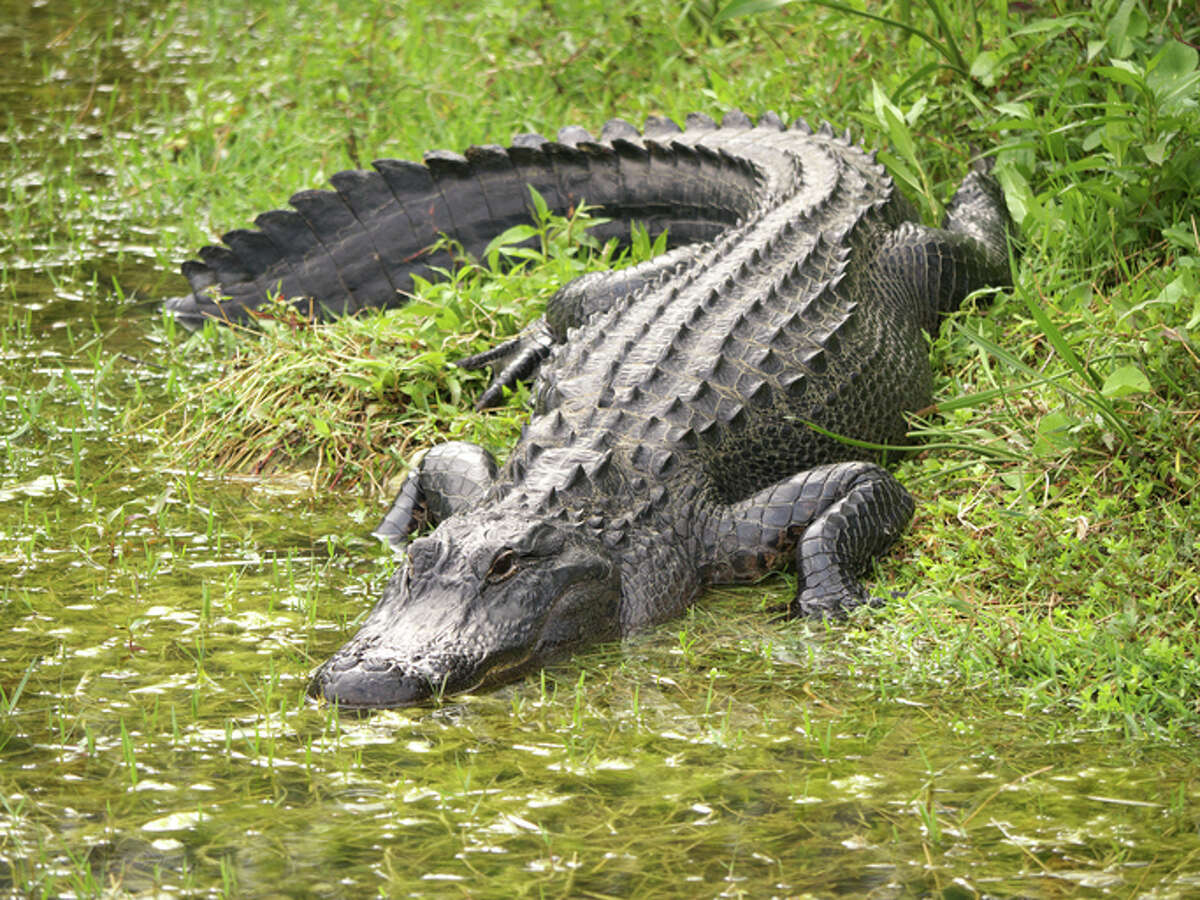 Can I outrun an alligator?If it really wants to get you, and you're too close, maybe not.
