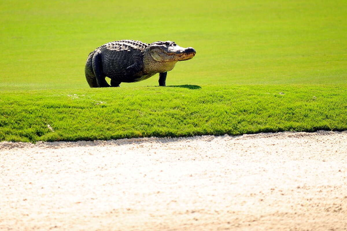 Why are so many alligators seen on golf courses?There are a few reasons, Kramer said. When adult gators travel around looking for females, they might need a pond to stop in, and golf course ponds are plentiful.