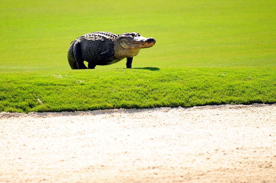 Why are so many alligators seen on golf courses? There are a few reasons, Kramer said. When adult gators travel around looking for females, they might need a pond to stop in, and golf course ponds are plentiful. Photo: Getty Images