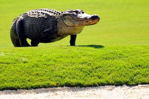 Why are so many alligators seen on golf courses?  There are a few reasons, Kramer said. When adult gators travel around looking for females, they might need a pond to stop in, and golf course ponds are plentiful.