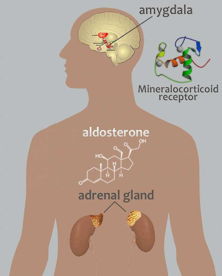 A new study led by scientists at the National Institute on Alcohol Abuse and Alcoholism, part of the National Institutes of Health shows that aldosterone, a hormone produced in the adrenal glands, may contribute to alcohol use disorders. Image courtesy of the National Institutes of Health. Photo: Contributed / Contributed
