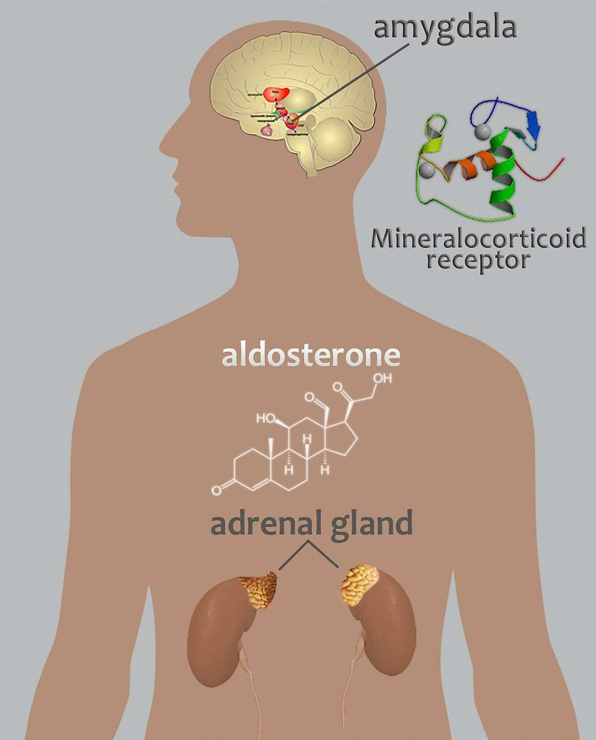 A new study led by scientists at the National Institute on Alcohol Abuse and Alcoholism, part of the National Institutes of Health shows that aldosterone, a hormone produced in the adrenal glands, may contribute to alcohol use disorders. Image courtesy of the National Institutes of Health.
