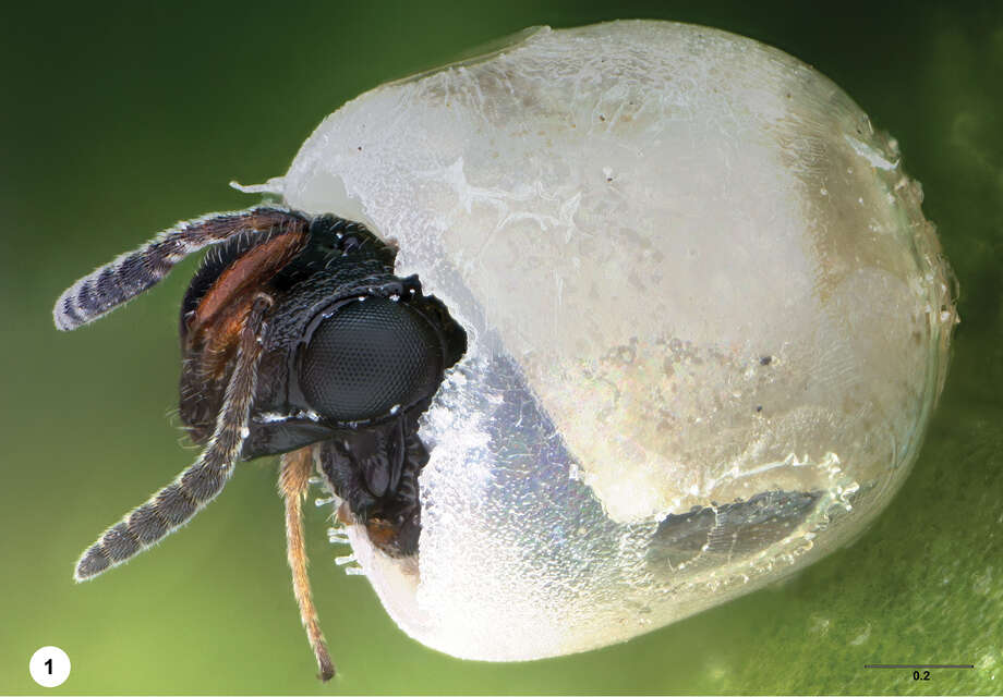 Trissolcus japonicus, female specimen, is preserved during emergence from a brown marmorated stink bug egg. Scale bar in millimeters.1 (Elijah Talamas/Ohio State University)