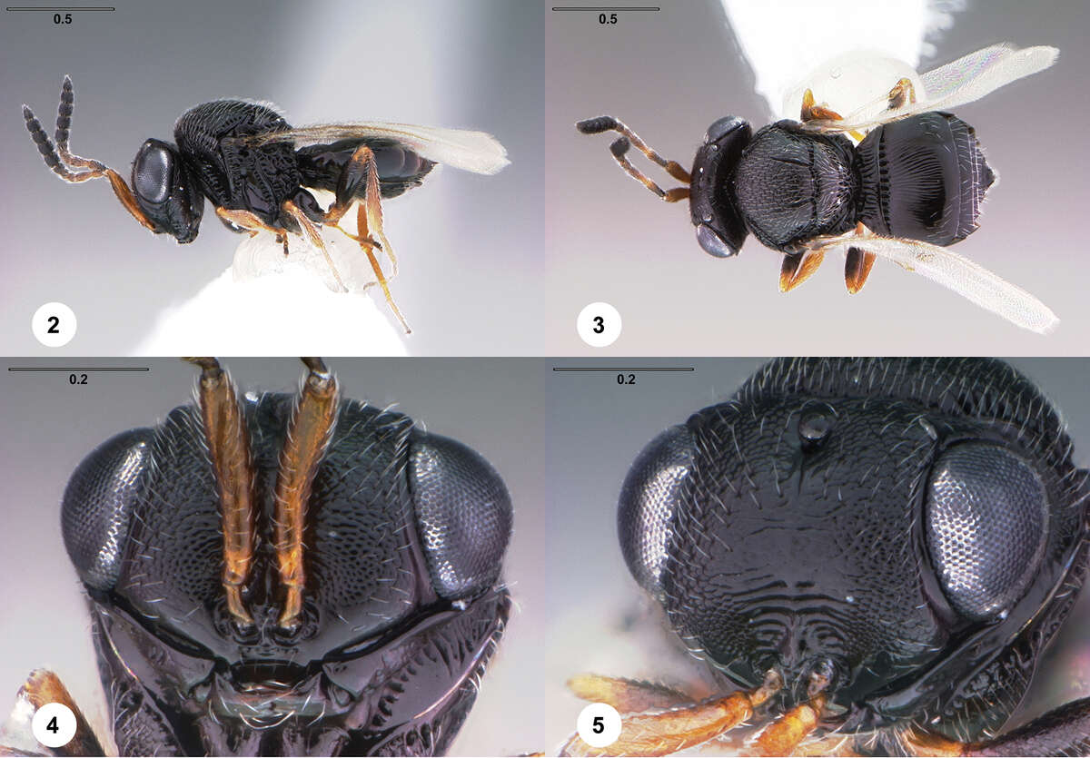 Trissolcus japonicus, female (2) lateral habitus (3) dorsal habitus (4) head, anterior view (5) head, anterodorsal view. Scale bars in millimeters. (Elijah Talamas/Ohio State University)