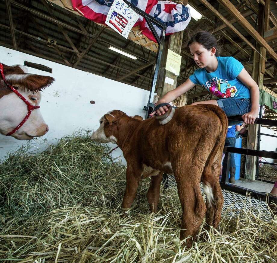 Lucian Eldridge 10, brushes a polled hereford calf at the Saratoga County Fairgrounds as she readies her entry in the live stock show on the day before opening day of the Fair Monday July 17, 2017 in Ballston Spa, N.Y.   (Skip Dickstein/Times Union) Photo: SKIP DICKSTEIN / 20040222A