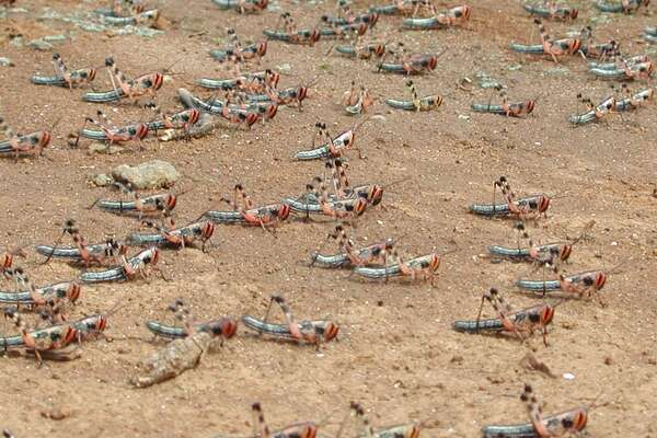Central American locusts on the move.