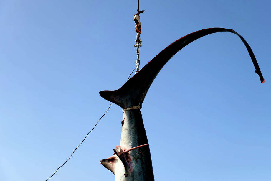 The tail of a 360 pound thresher shark as its weighed during the North Atlantic Monster Shark Tournament at State Pier 3 on July 15, 2017 in New Bedford, Massachusetts. Once sharks are brought to the weigh station they are weighed, measured, dissected by scientists and then returned to the captain and crew that caught them. Photo: Maddie Meyer/Getty Images