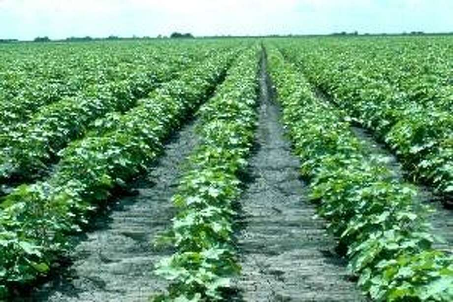 Texas, the nation's second-largest agriculture producer, loses acres upon acres of farmland, like this cotton field, daily. Farms, ranches and timberland comprise 84 percent of the state's land base, capturing and filtering rain before it flows into faucets in San Antonio, Dallas or Houston. Photo: /courtesy TDA / courtesy TDA