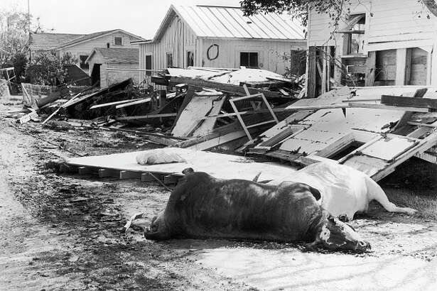 Dead cattle litter the streets of Cameron, Louisiana, July 1st, hampering clean-up operations after a tidal wave destroyed the town. The death toll caused by Hurricane Audrey was rising steadily.