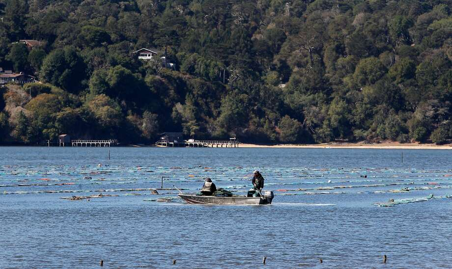 "Search and rescue crews were out Wednesday morning searching for Charles ""Tod"" Friend, the owner of Tomales Bay Oyster Co., who fell off his boat in Tomales Bay and hasn't been seen since. In this file photo, employees work near oyster beds at the Tomales Bay Oyster Co. in Marshall, Calif. on Friday, Oct. 2, 2015. Photo: Paul Chinn, The Chronicle"