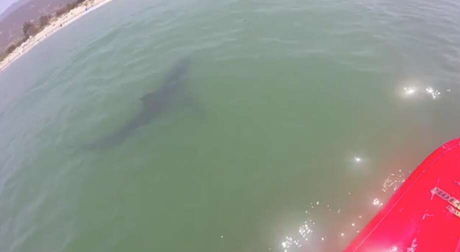 A juvenile great white shark approached two paddle boarders off the coast of Santa Barbara County Saturday. Photo: Screenshot / Francesca Nash Via Storyful