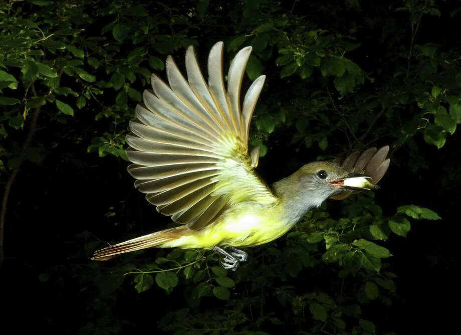 Minnesota, Mendota Heights Great Crested Flycatcher in Flight carrying fecal sac from nest box. (Photo by: Universal Images Group via Getty Images) Photo: UniversalImagesGroup, UIG Via Getty Images / This content is subject to copyright.