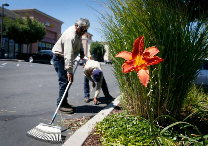 A Del Conte's Landscaping maintenance crew of full-time employees works in the Pacific Plaza strip mall on Auto Mall Parkway in Fremont, Calif. on Wednesday, July 19, 2017. Del Conte's relies heavily on seasonal employees and on average receives 25 H2B visas annually. Under the Trump Administration's previous restrictions, Del Conte was shut out creating a staffing shortage but now plans to apply for 30 of the visas now that more have become available.