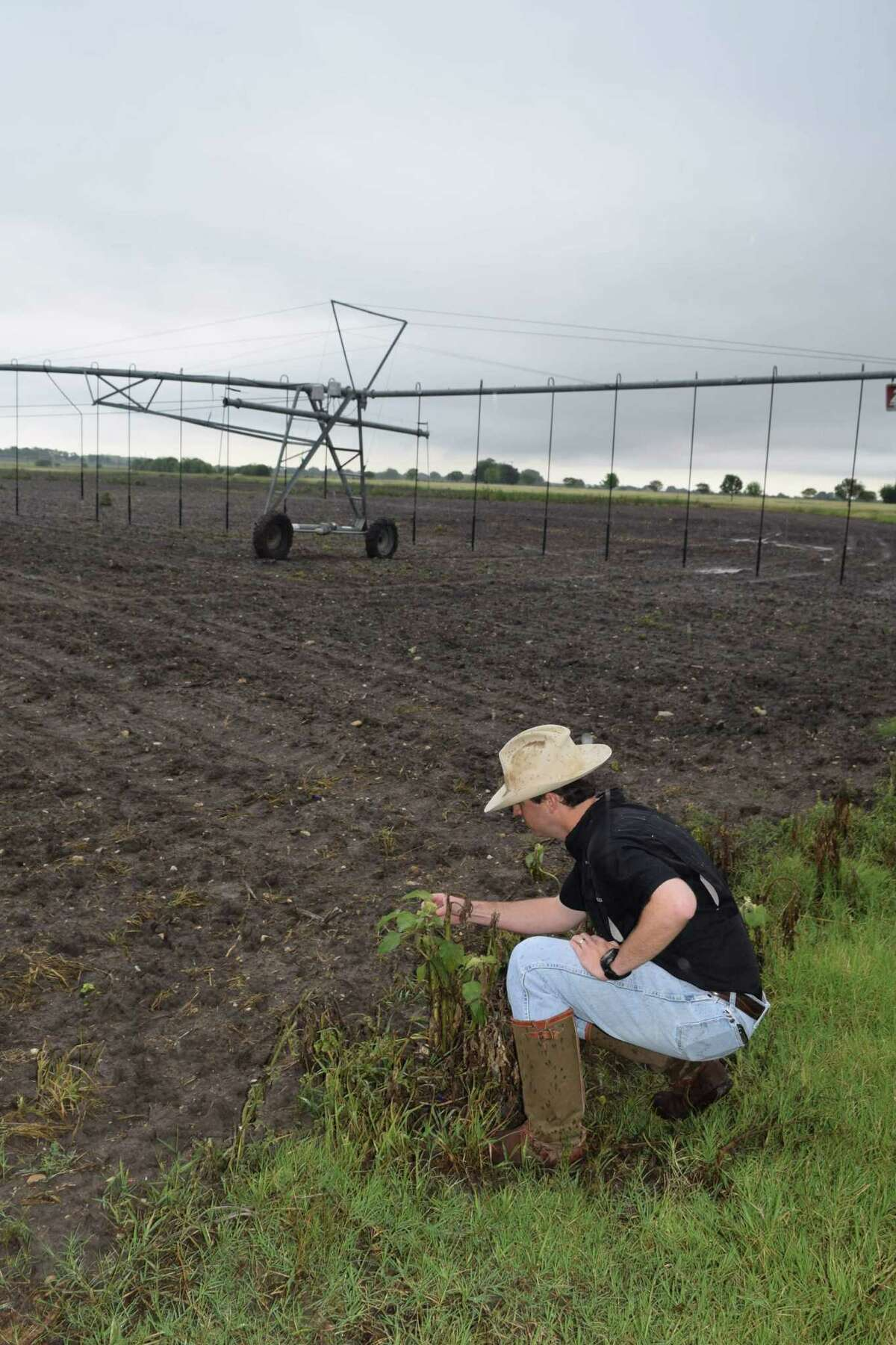 A dove-attracting sunflower like the one's planted in this field that will be a bird magnet this fall is checked out by Brent Conger, managing partner of Paloma Pachanga Ranch, who has doubled his operation by taking over management of the Nooner Ranch day-leases.