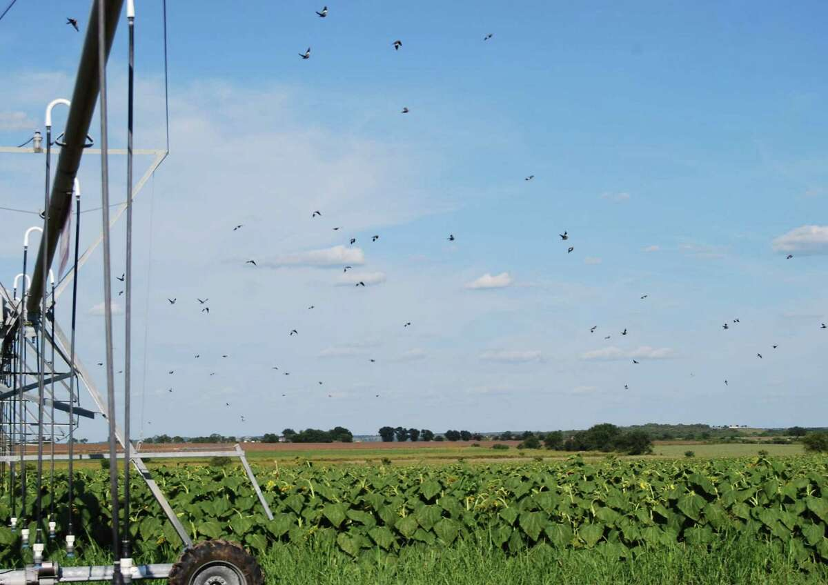Bird-filled skies over sunflowers that serve as a dove magnet for the Nooner and Paloma Pachanga ranches are the main attraction for what will be the largest dove hunting operation in the state this fall season.