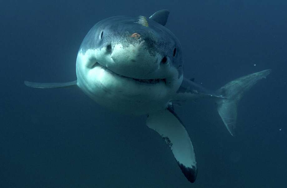 """This undated image released by Discovery Channel shows a great white shark. The channel's annual Shark Week will include requests to support Oceana, an advocacy group focused on ocean conservation. Shark Week's opening lineup Sunday includes """"Phelps vs. Shark: Great Gold vs. Great White,"""" with Olympian Michael Phelps testing his speed against that of a great white shark. (Discovery Channel via AP) Photo: Associated Press"""