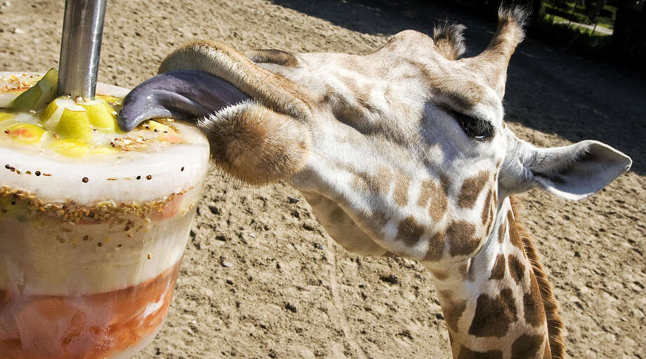 A giraffe licks from a large ice cream in a zoo in Rhenen, Netherlands.Click through the gallery to see other cute critters and their ways to cope with the sun and heat... Photo: ROBIN UTRECHT/AFP/Getty Images