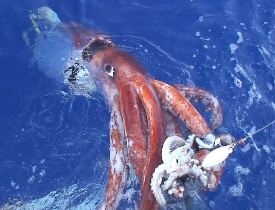FILE - In this photo released by Tsunemi Kubodera, a researcher with Japan's National Science Museum, a giant squid attacking a bait squid is being pulled up by his research team off the Ogasawara Islands, south of Tokyo, on Dec. 4, 2006.For the first time, a live giant squid had been filmed in U.S. waters. Photo: KOJI SASAHARA, AP