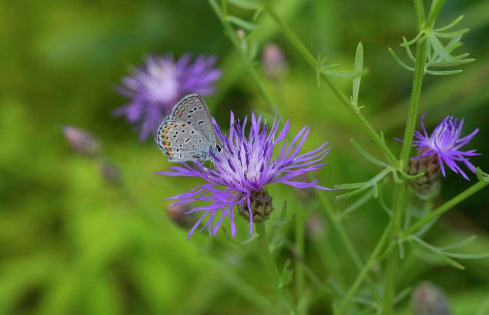 A view of a Karner blue butterfly at the Albany Pine Bush Preserve on Thursday, July 20, 2017, in Albany, N.Y. (Paul Buckowski / Times Union)