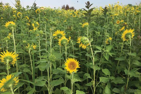 Thriving in the warmth of summer, the sunflower garden at Glik Park is in full bloom.