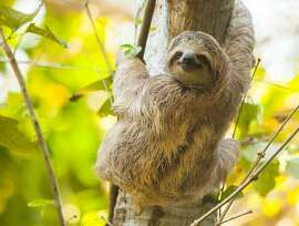 Sloth in Costa Rica, having escaped toaster duty