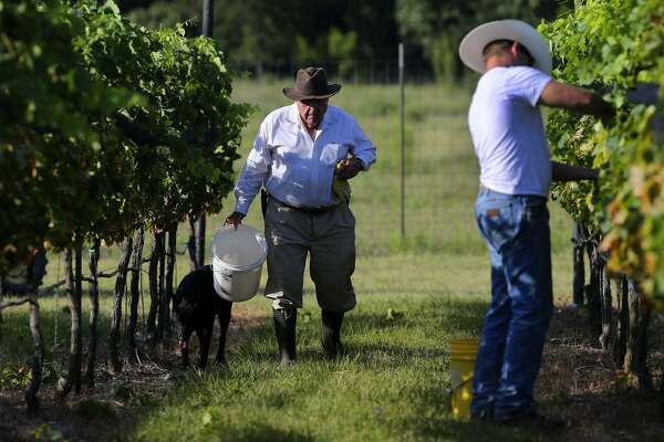 Larry Kuhlken (left) of Kuhlken Vineyards near Fredericksburg, Texas, works during an early harvest of tempranillo grapes. On the right is Jeremy Crawford, who works at the nearby Pedernales Cellars where Kuhlken's grapes are turned into wine.