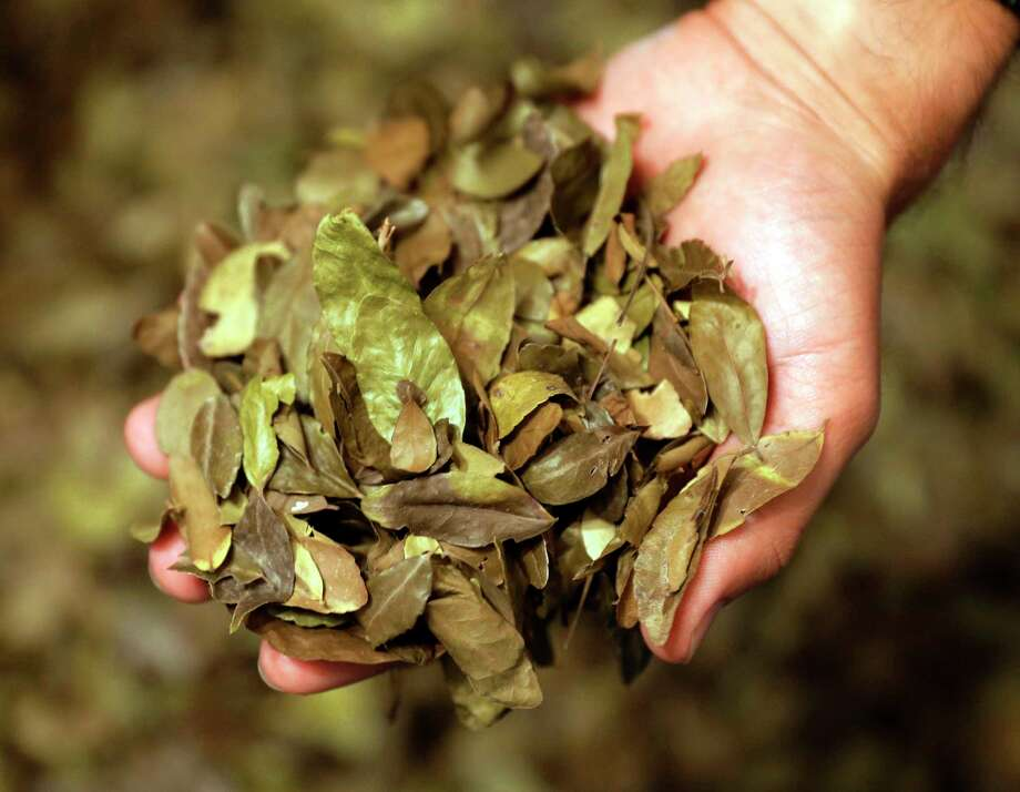 Yaupon leaves have been used to make a drink called cassina for centuries. Photo: Michael Wyke, For The Chronicle / © 2017 Houston Chronicle
