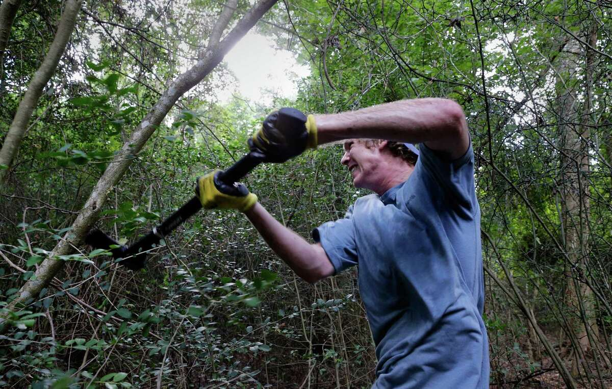 Barrettt Schulze brings down wild yaupon on a wooded property in New Caney.