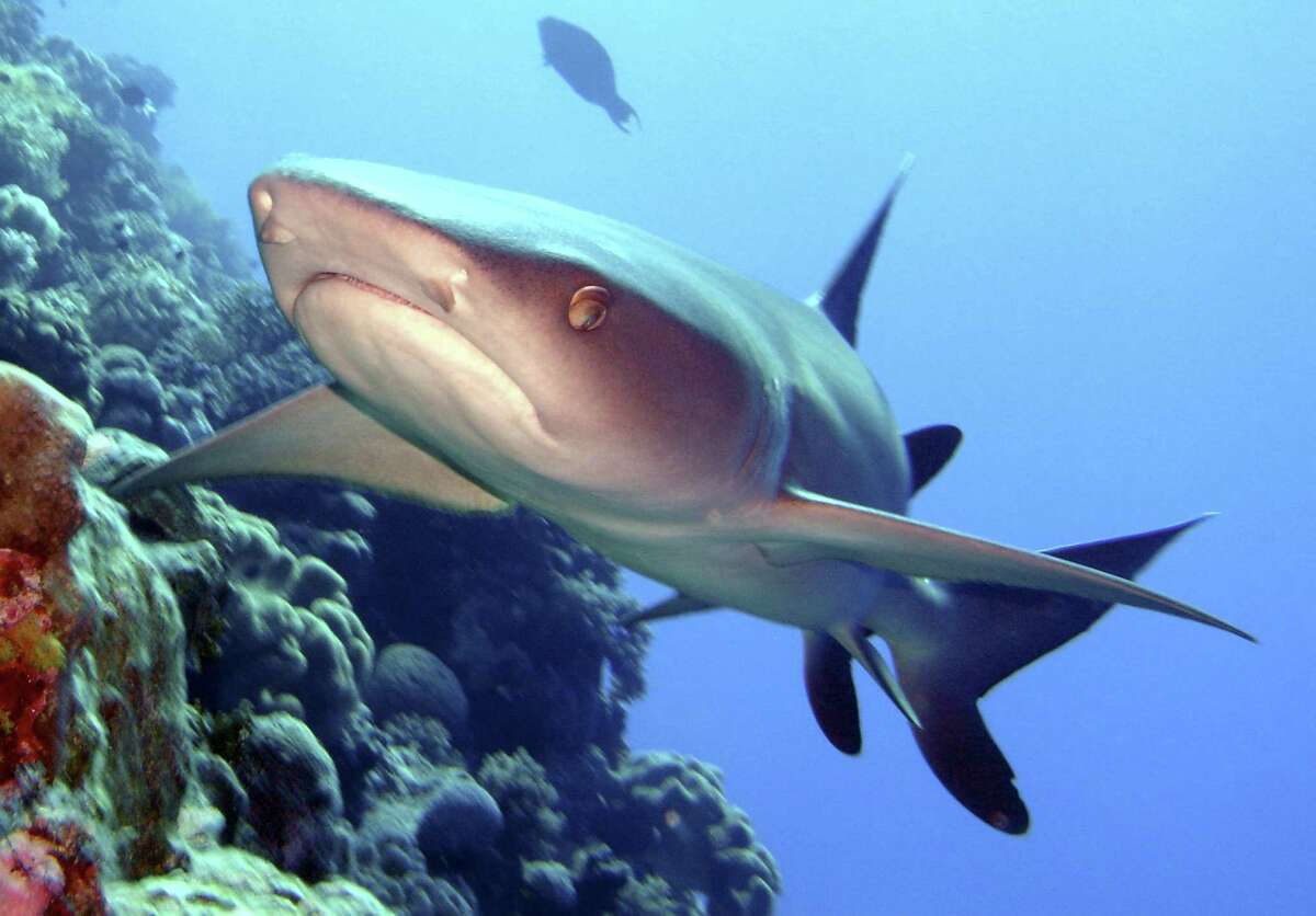 Coral Sea Reserve protects such endangered species as the whitetip reef shark seen her at Osprey Reef.