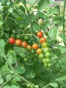 These luscious looking cherry tomatoes are from an organic garden.